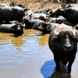 Buffalos — Stock Photo #38279319
