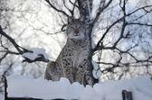 Lynx, eyecontact — Stockfoto