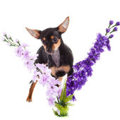 Chihuahua and flowers isolated on white background — Stock Photo
