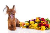Funny dog and fowers isolated on white background — Stock Photo