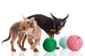 Chihuahua y un ovillo de hilo aislado sobre fondo blanco — Foto de Stock