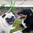 Stock Photo: Pug dog play