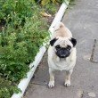 Pug dog — Stock Photo #26326817