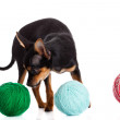 Chihuahua and a ball of thread isolated on white background — Stock Photo