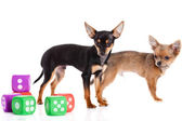 Chihuahua and cubes isolated on white background — Stock Photo