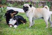 Pug dog play — Stock Photo