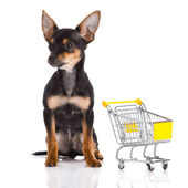 Chihuahua with shopping trolly isolated on white background — Stock Photo