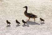 Pato con ducklings.walk en la ciudad — Foto de Stock