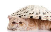 Persian exotic kitten under basket isolated — Stock Photo