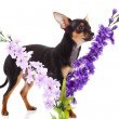 Chihuahua and flowers isolated on white background — Foto de Stock