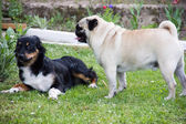 Pug dog play — Stock Photo