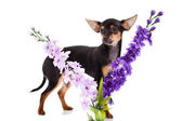 Chihuahua and flowers isolated on white background — 图库照片
