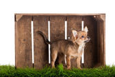 Chihuahua in box isolated on white background — Stock Photo