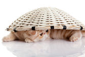 Persian exotic kitten under basket isolated — Stockfoto