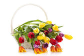 Tulips in basket isolated on white background. colors — Stock Photo