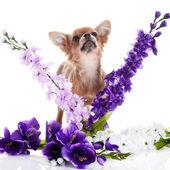 Chihuahua i kwiaty na białym tle — Zdjęcie stockowe