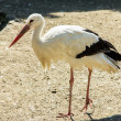 Stork wildlife — Stock Photo #29071007