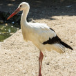 Stork wildlife — Stock Photo #29236797