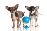 Chihuahua isolated on white background — Stock Photo