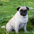 Pug dog outdoor — Stock Photo