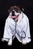 Buldog amerykański, na czarnym tle lekarz — Zdjęcie stockowe