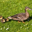 Stock Photo: Duck with ducklings.walk in city