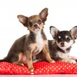 Stock Photo: Chihuahuisolated on white background