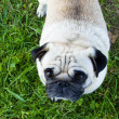 Stock Photo: Pug dog outdoor