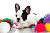 French bulldog with threadballs isolated on white background — Stock Photo