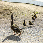 Duck with ducklings.walk in city — Stock Photo