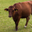 Cow grazing on  meadow — 图库照片