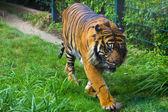 Tiger hayvanat bahçesi — Stok fotoğraf