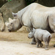Rhino rhinoceros animal baby  zoo — 图库照片