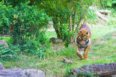 Tiger in zoo — Stock Photo