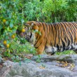 Stock Photo: Tiger in zoo
