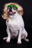 American bulldog on black background glasses hair — Stock Photo