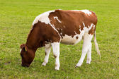 Cow grazing on meadow — Stock Photo