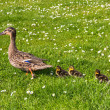 Duck with ducklings.walk in city — 图库照片