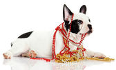 French bulldog with beads isolated on white background — Stock Photo