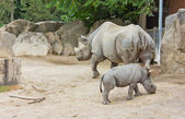 Rhino rhinoceros animal baby zoo — Stock Photo