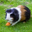Guinea pig — Stock Photo #32154515
