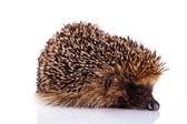 Hedgehog isolated on white background — Stock Photo