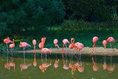 Flamingos pink zoo — Stock Photo