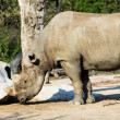 Rhino rhinoceros zoo — Stock Photo