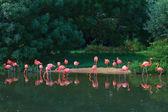 Pembe flamingolar hayvanat bahçesi — Stok fotoğraf