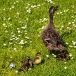 Duck with ducklings.walk in city — Stok fotoğraf