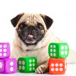 Pug dog  isolated on white background dices — Stock Photo