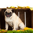 Pug dog  isolated on white background, autumn — Stock Photo