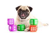 Pug dog isolated on white background dices — ストック写真