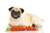 Pug dog isolated on white background — Stock Photo